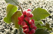 Late Harvest Wine, frozen grapes