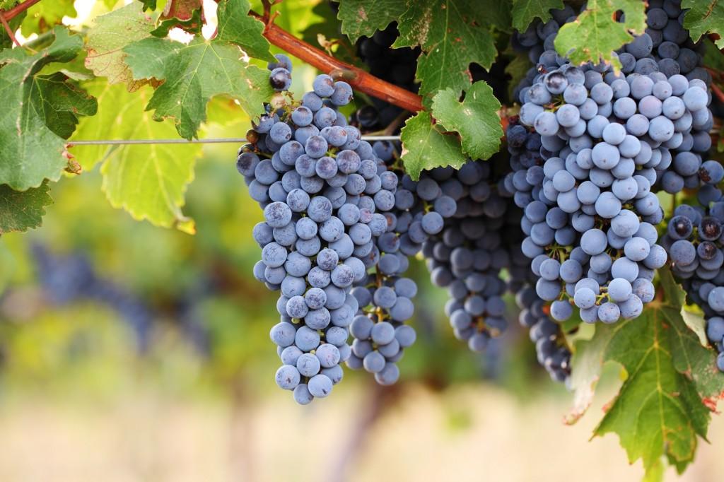 Ripe red wine grapes on vine