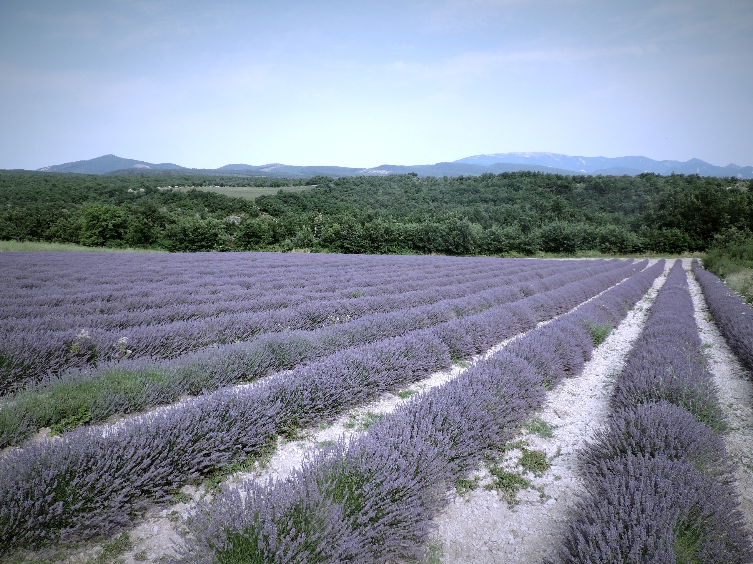 Wine Geographic - Lavender Fields in Provence, France