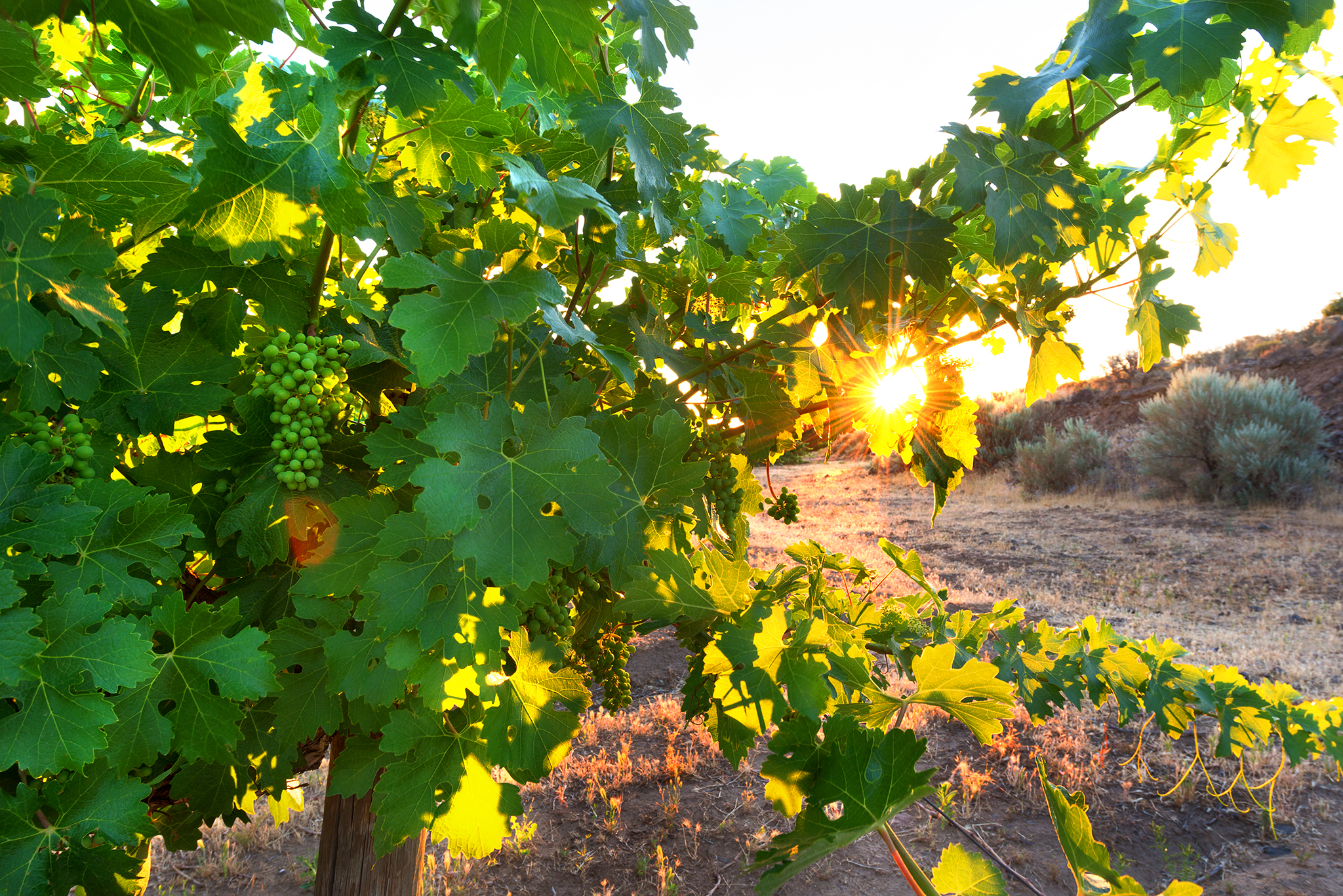 Grapevines at dawn - Washington - Article by WineGeographic.com