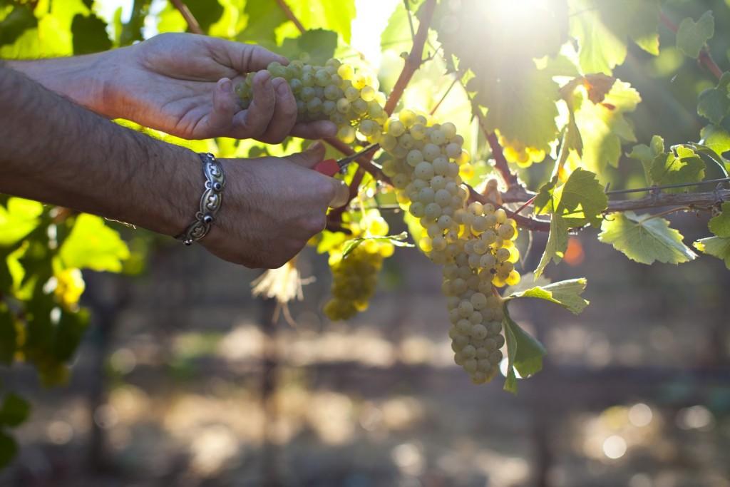 Hanzell Vineyards - Harvesting Chardonnay